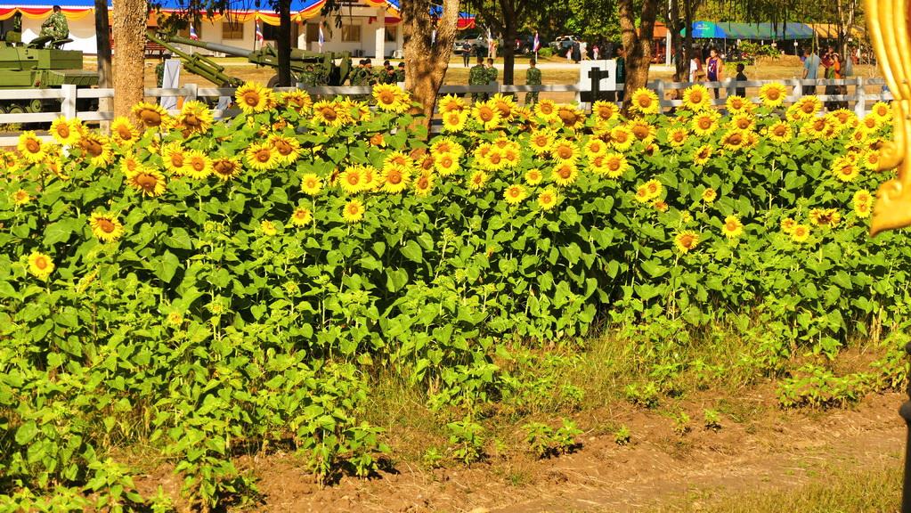 Sonnenblumen am Wegrand
