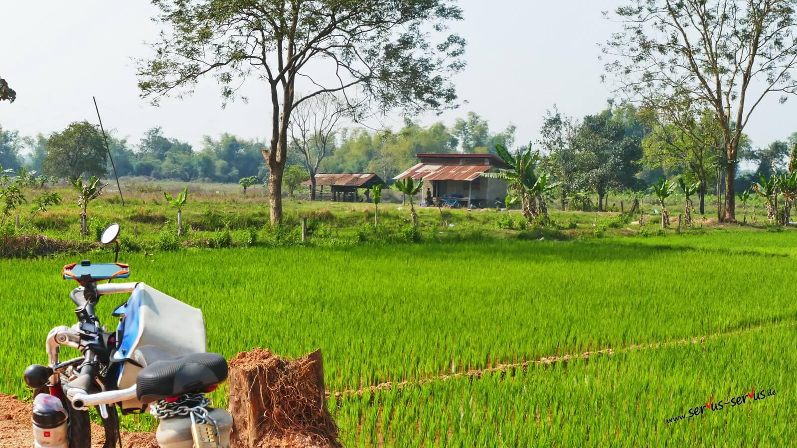 Grüne Reisfelder in Laos