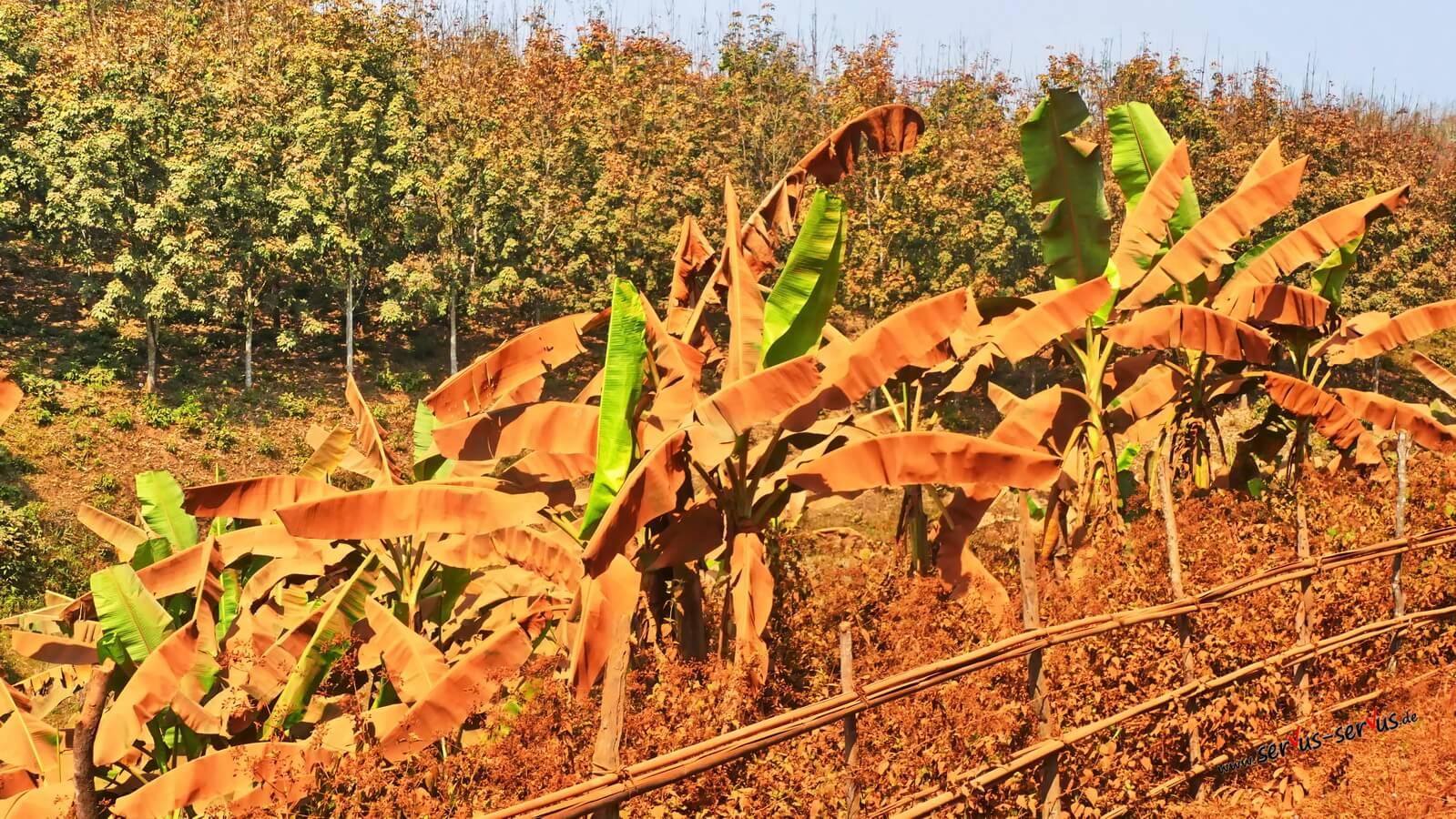 Eingestaubte Bananenstauden In Laos