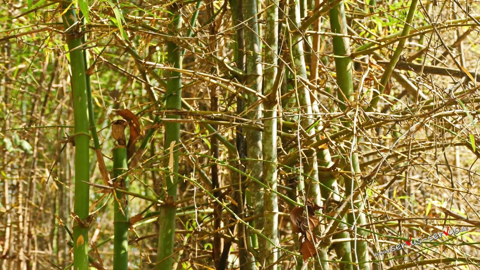 Bambus mit Dornen, Dschungel, Laos