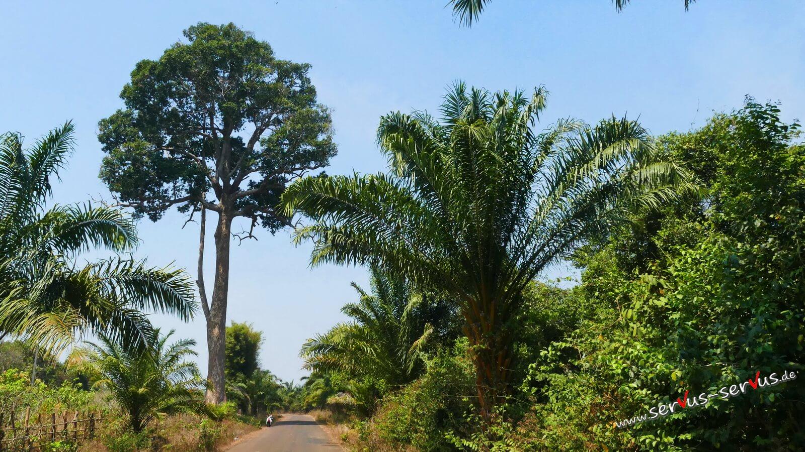 Baum, Dschungel, Baumriese, Laos, Bolavenplateau