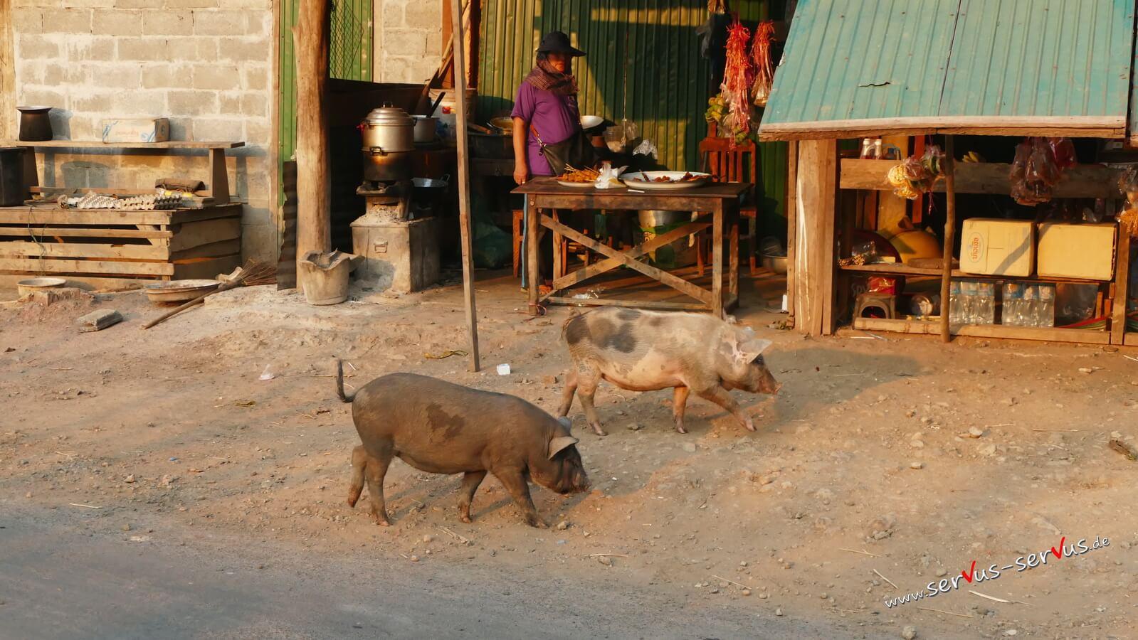 Schwein in Tad Lo,
