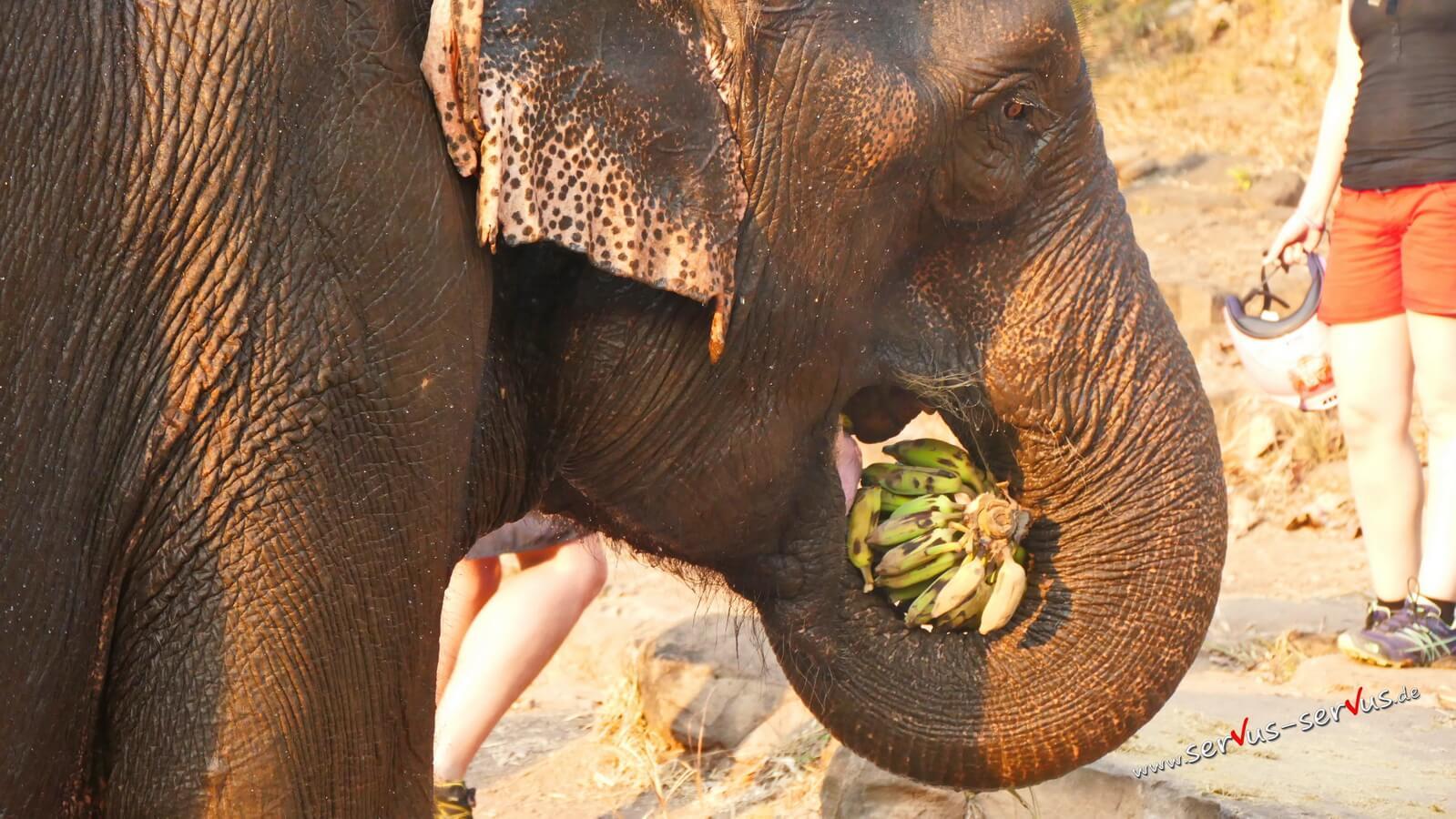 Elefant mit Bananen, Laos, Bolavenplateau