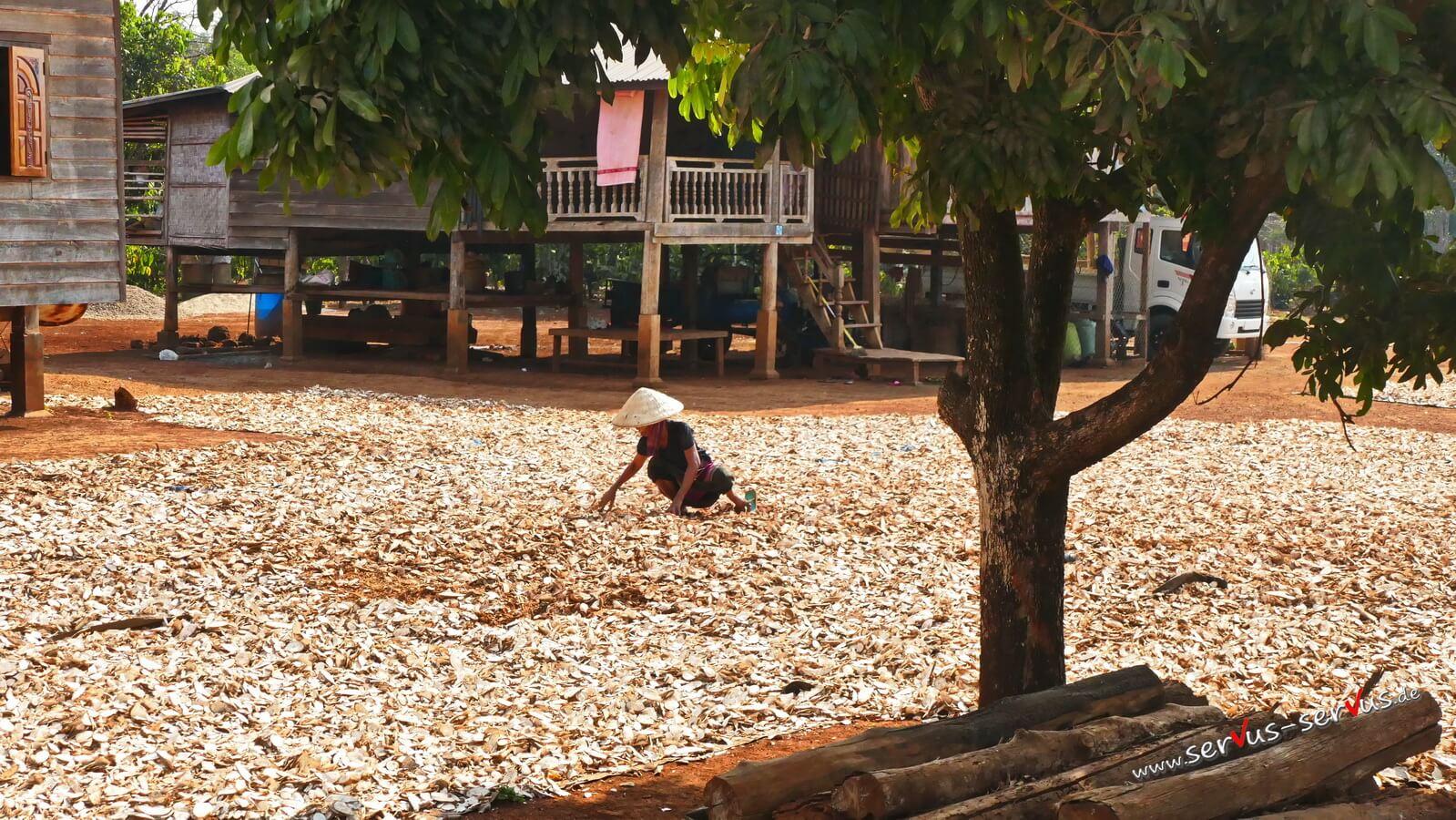 Boalvenplateau, Maniok wenden, Laos, Frau mit Strohhut