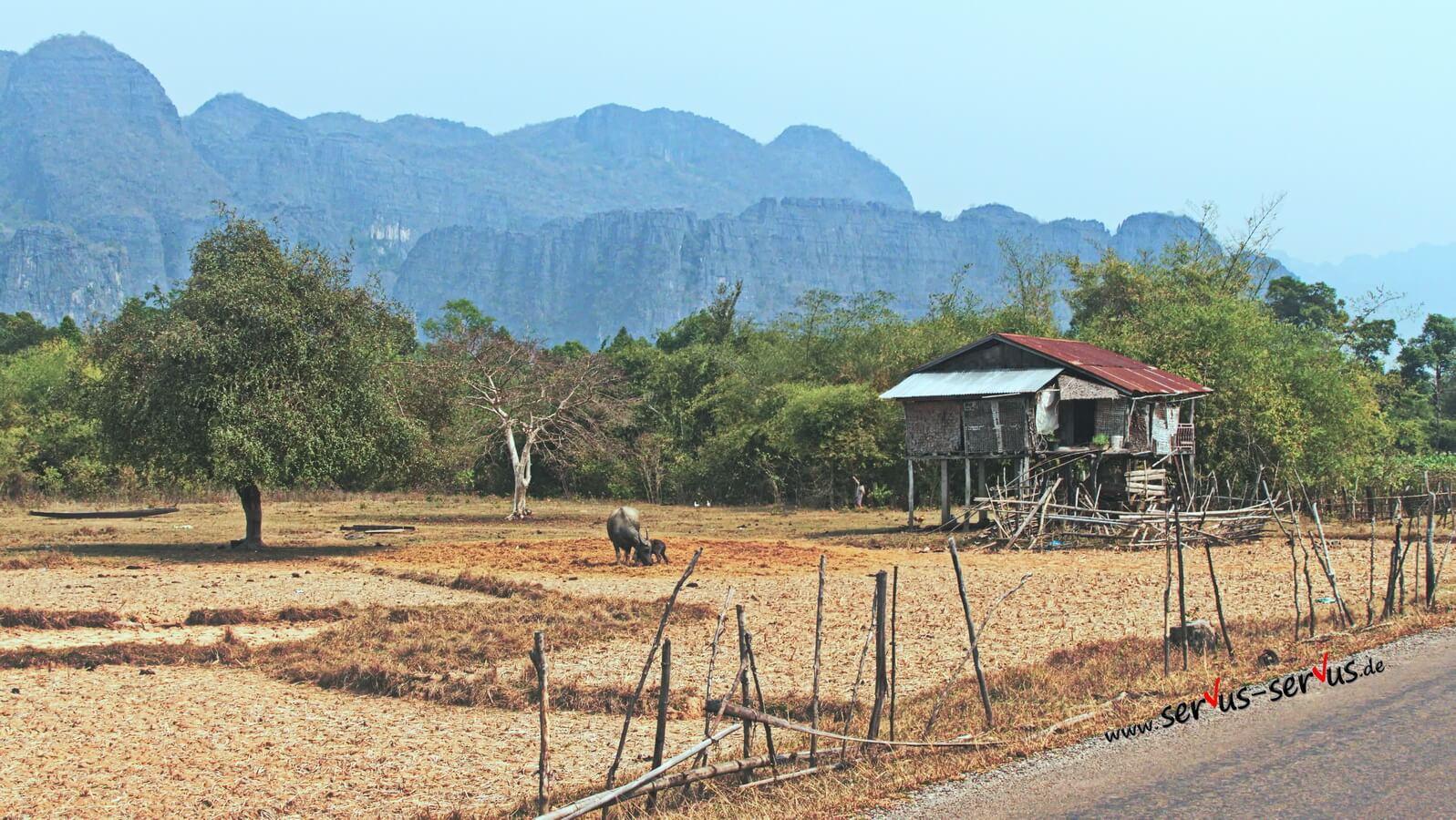 Wasserbüffel in Laos