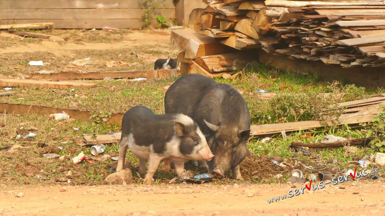 Schweine am Wegrand in Laos