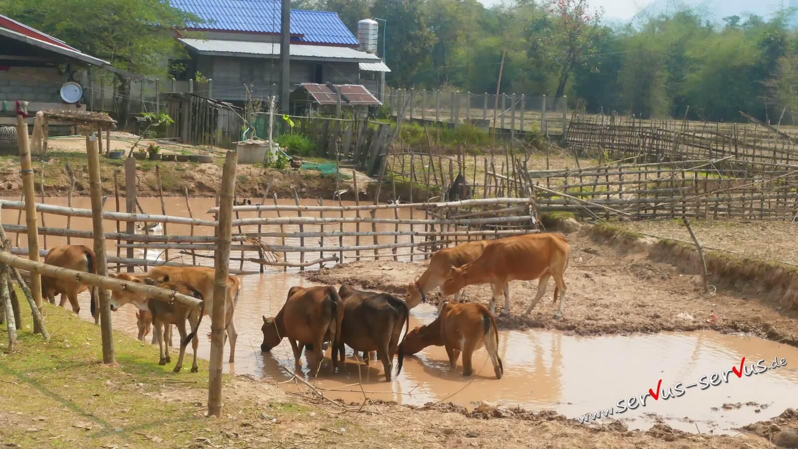 Kühe in einer Pfütze auf dem Weg zur Kong Lor Cave