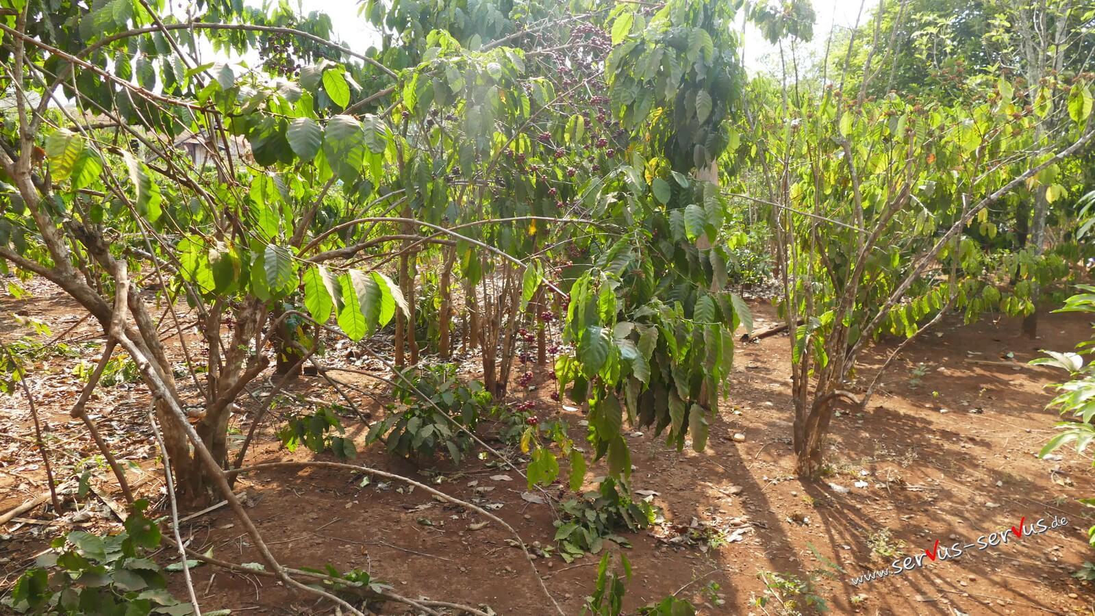 Kaffeepflanze, Laos, Bolavenplateau