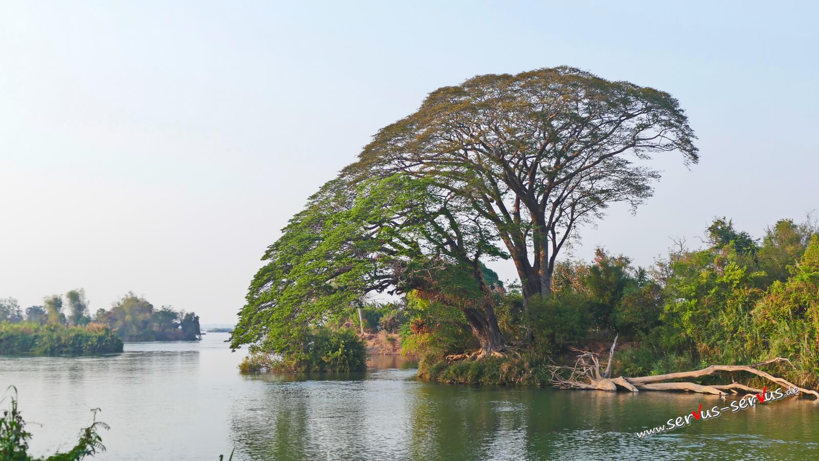 Don Det, 4000 Inseln, Laos, Baum am Mekong