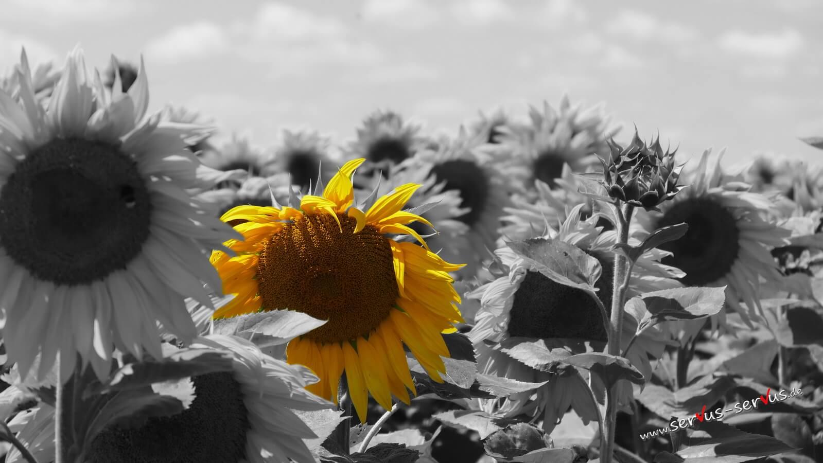 Sonnenblume, colorkey