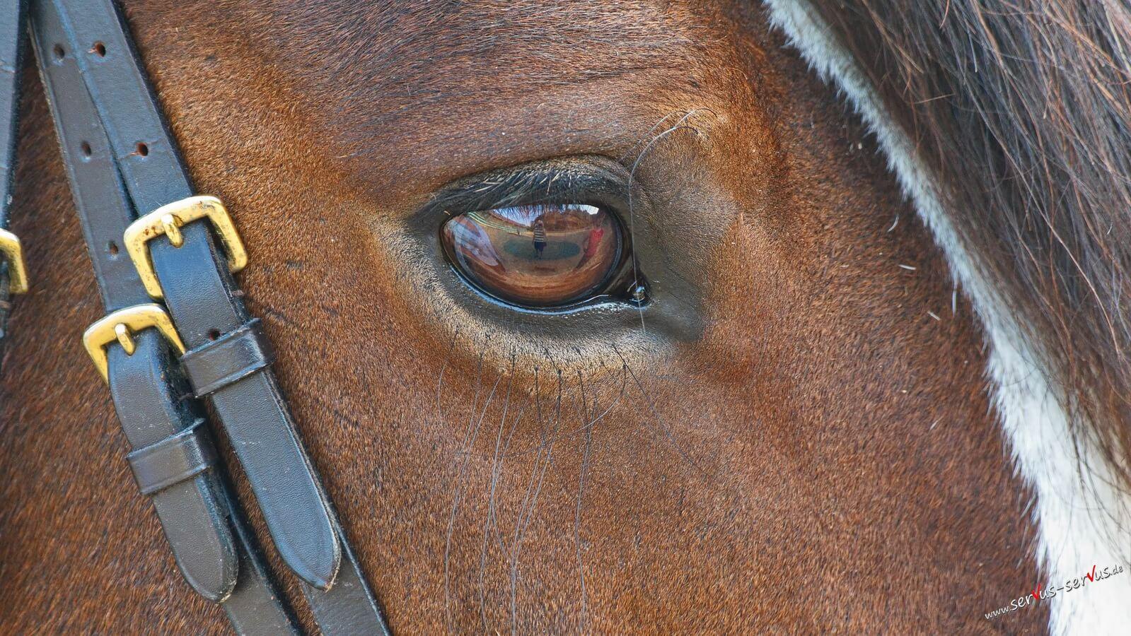 Pferd, Auge, Spiegelung