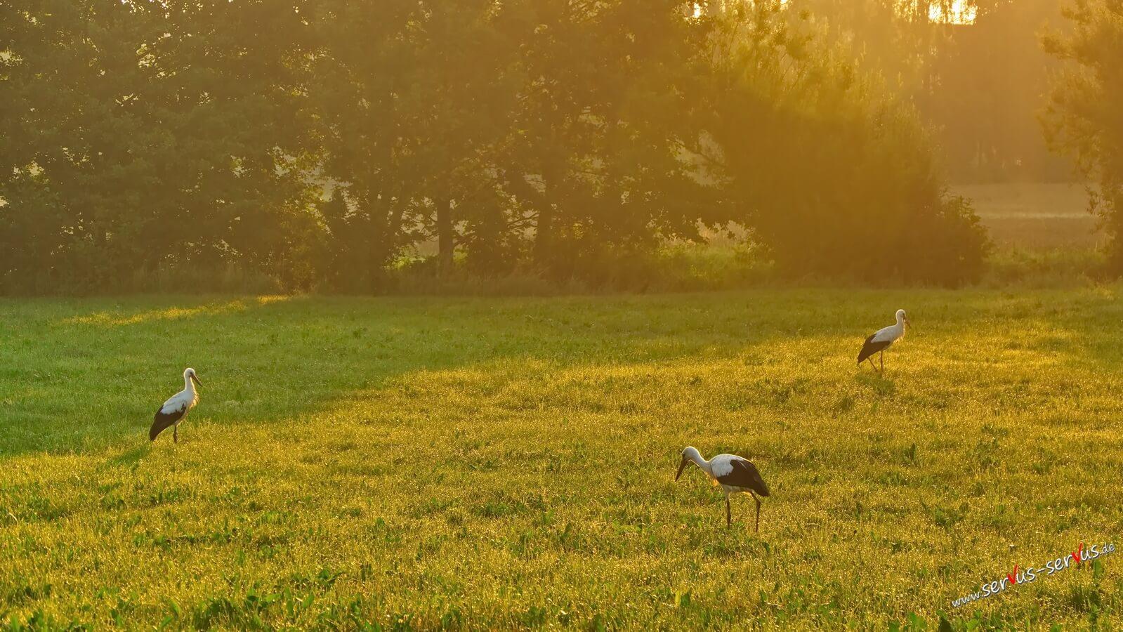 Drei Störche in der Morgensonne