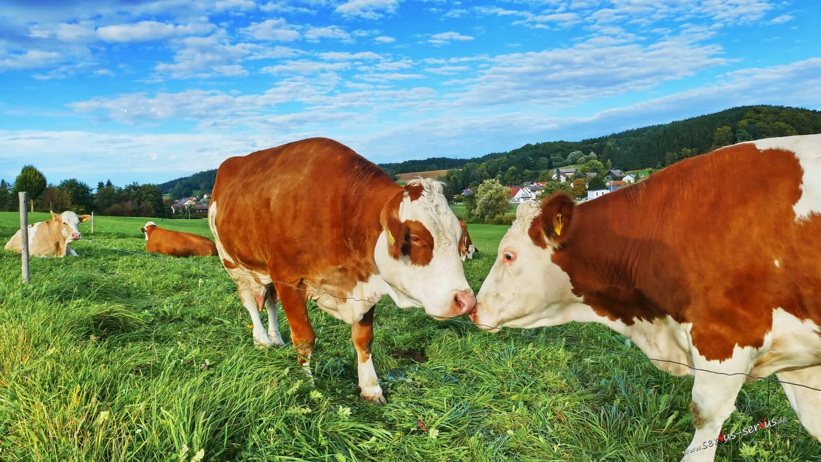Zwei kühe auf der weide