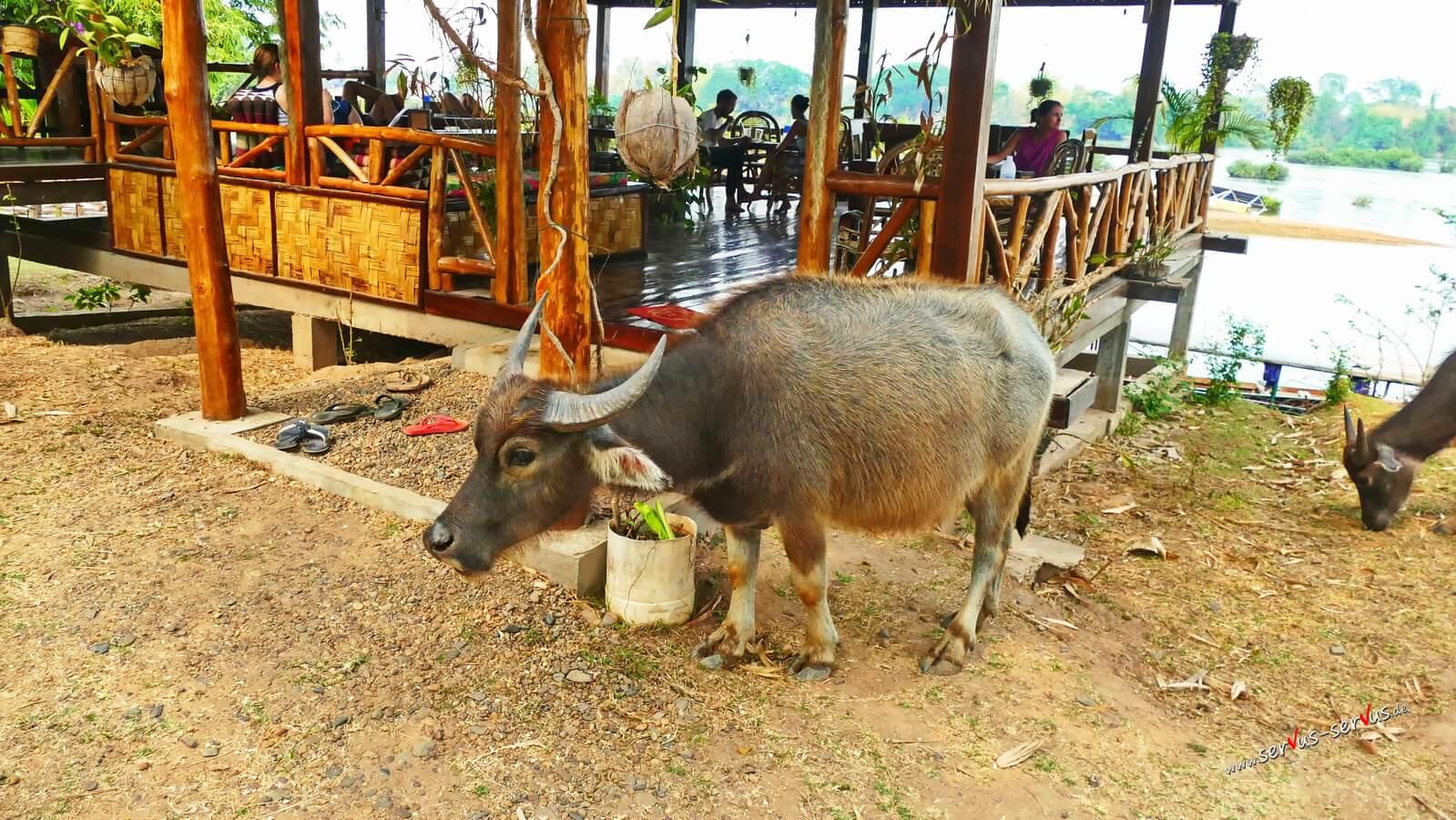 Don Det, Laos, Wasseerbüffel