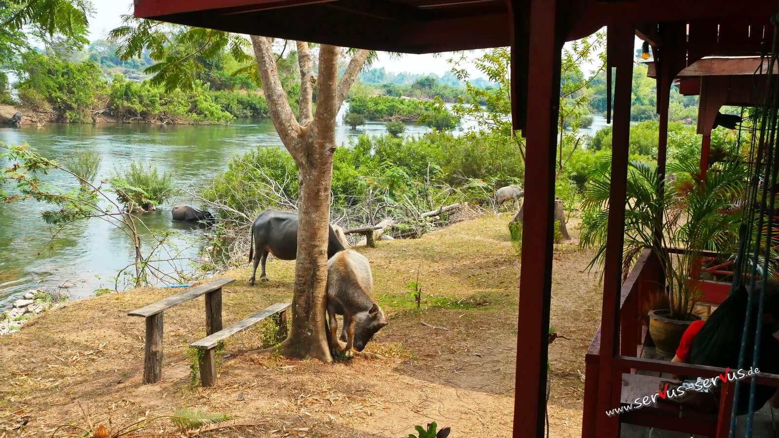 Don Det, Laos, Mekong, Wasserbüffel,