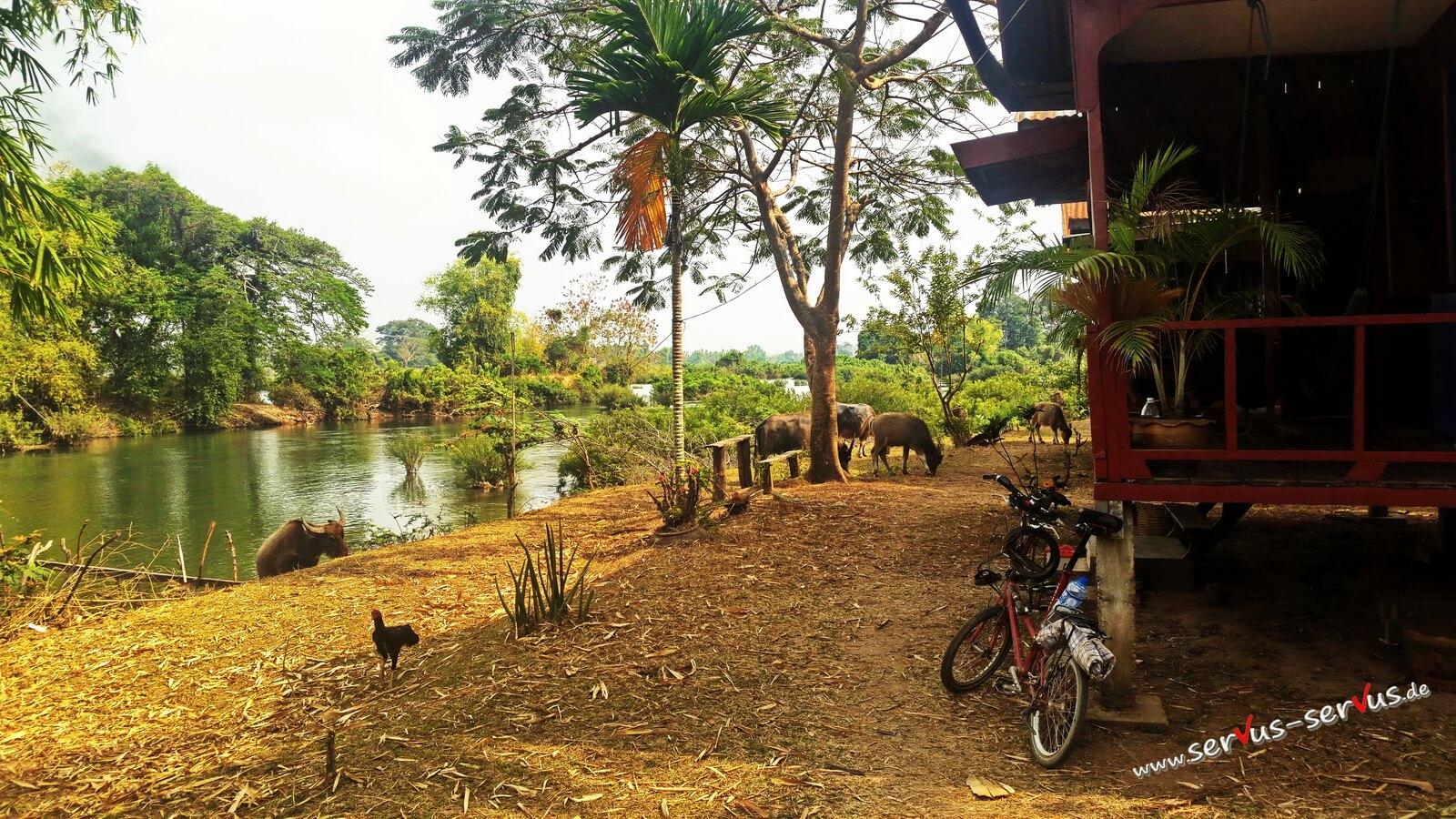 Wasserbüffel, Mekon, don Det, laos